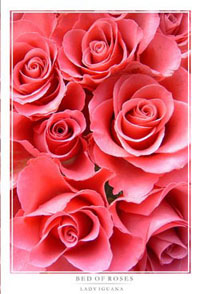 Bed_of_roses_1